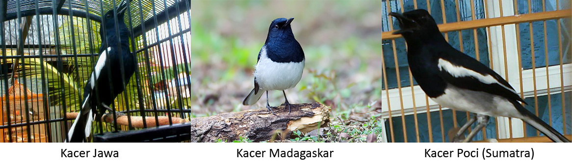 Jenis Jenis Kacer